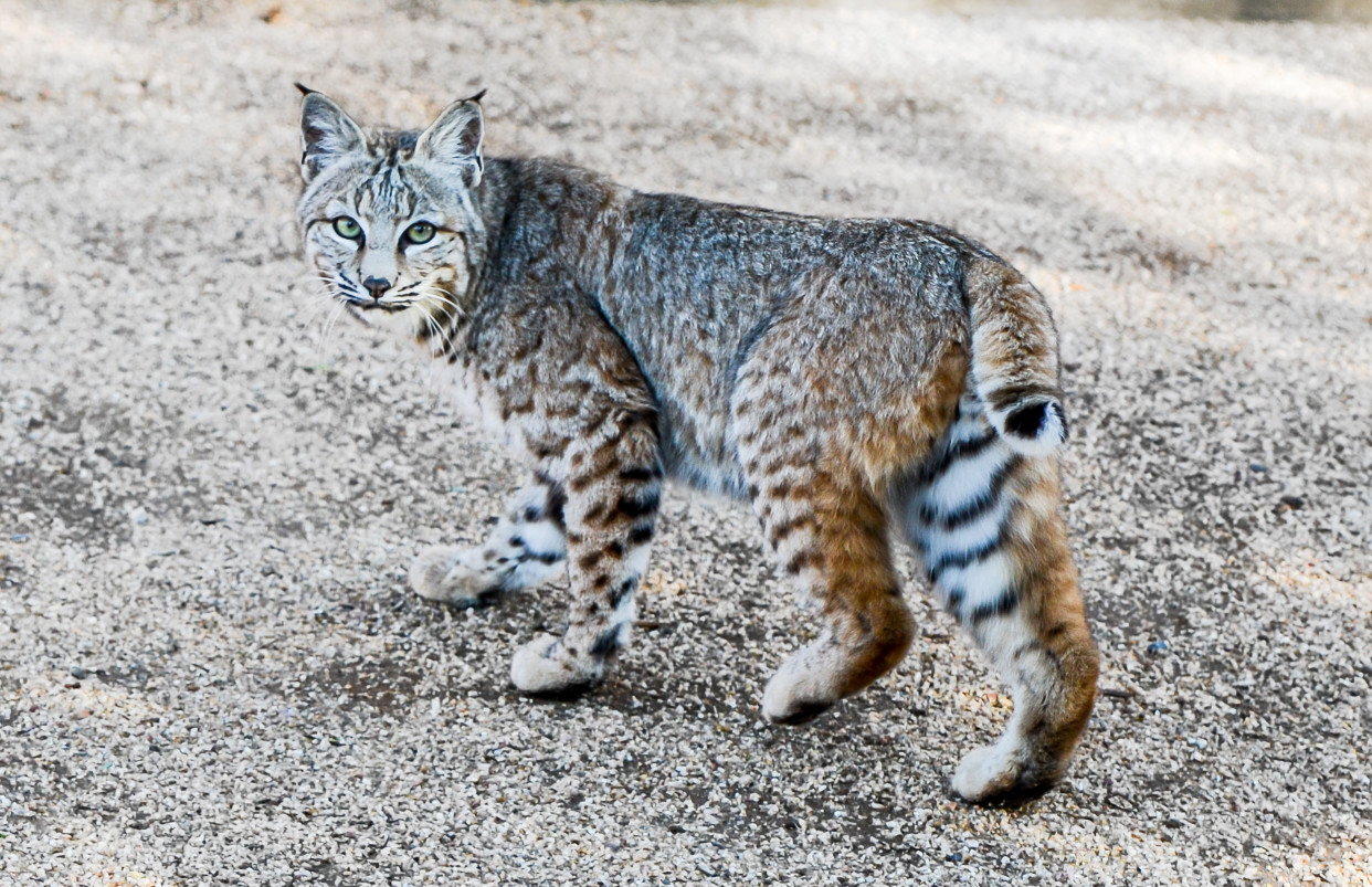 North American Big Cats You May See When You're Camping